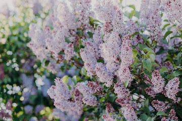 Outdoor shot of beautiful lilac bush with pleasant odour. Branch of blossoming lilac during spring. Close up view. Public park