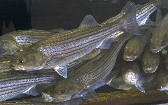 Curious Striped Bass