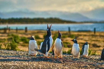 Fototapeten Pinguin The colony of penguins on the island in the Beagle Canal. Argentine Patagonia. Ushuaia