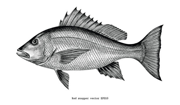 Red snapper hand drawing vintage engraving illustration isolated on white background