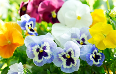 Foto op Aluminium Pansies colorful pansy flowers in a garden