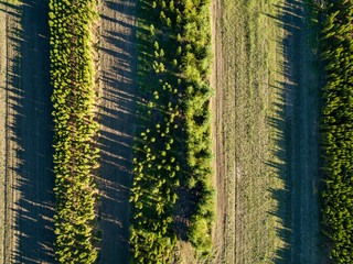 Wall Mural - Aerial view rows of young tree seedlings on a spring sunny day. Photo from the drone