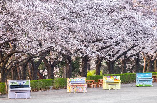 cherry blossoms blossming in spring in seoul south korea taken at Seoul Grand Park