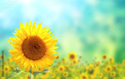 Wall mural Sunflowers on blurred sunny background