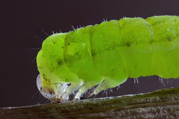 Caterpillar on green leaf