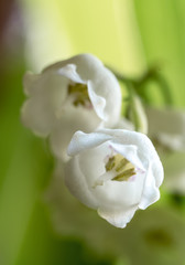 Buds of a lily of the valley
