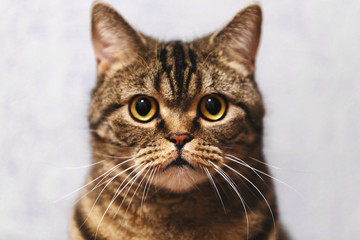 Moscow, Russia. The cat portrait breed Scottish Straight, that looks directly at the camera. The gleam in his eyes