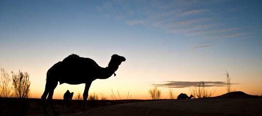 Silhouette of a camel at sunset in the desert of Sahara, South Tunisia