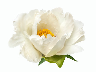 terry white peony flower isolated