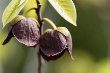 Flower of a Papaw tree