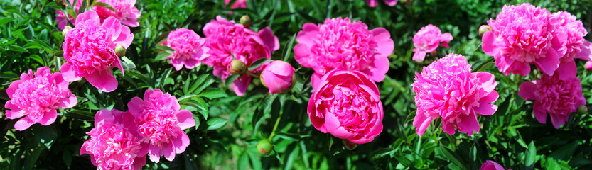 Panoramic image of pink peonies on a green background