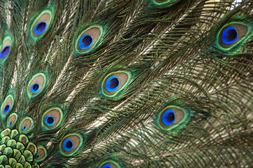 Colorful peacock feathers background. Shallow Dof.