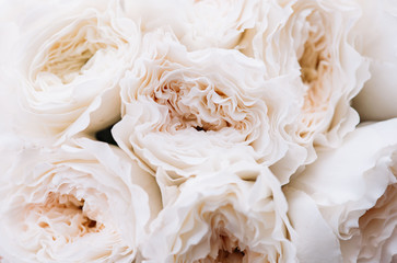 Beautiful blossoming David Austin white blossoming roses texture, close up view