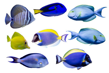 Wall Mural - Various species of surgeonfish such as Blue, Red sea sailfin , Powder blue, Sohal, Yellow tang