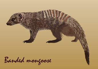 Realistic African striped mongoose