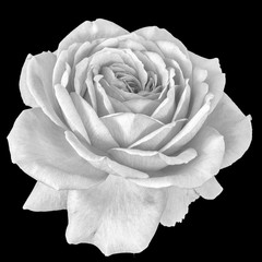 Monochrome fine art still life floral macro flower portrait image of a single isolated white flowering blooming rose blossom on black background with detailed texture