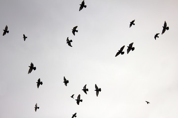 Flock of pigeons in sunset sky