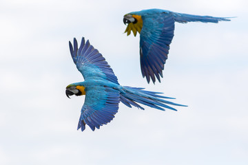 Tropical birds in flight. Blue and yellow Macaw parrots flying.