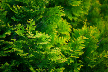 Green-yellow background with branches of thuja Wall mural