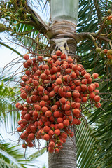 Date palm fruits.