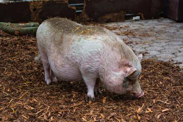 Domestic pig, pig or boar on a farm