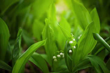 Poster de jardin Muguet de mai Leaves and flowers of lily-of-the-valley in the garden