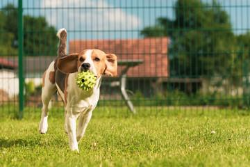 Dog run Beagle fun in garden