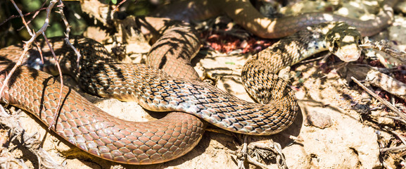 Snake by abonded town of Kharanaq in Iran