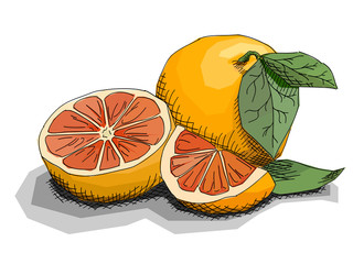 Vector illustration of drawing fruit grapefruits.