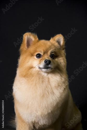 The Face Of A Pomeranian Dog Sitting On A Black Background Stock