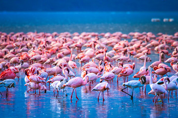 Vogels van Afrika. Kenia. Zwerm flamingo& 39 s. Afrikaanse flamingo& 39 s. Reis naar Kenia. Safari met dieren. Lake Nakuru.