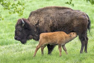 Cow American bison (Bison bison) feeding calf, Iowa, USA