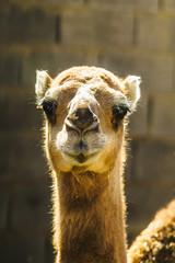 Closeup of Camel in the desert of iran
