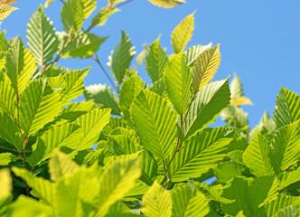 Hainbuche, Carpinus betulus, Blätter