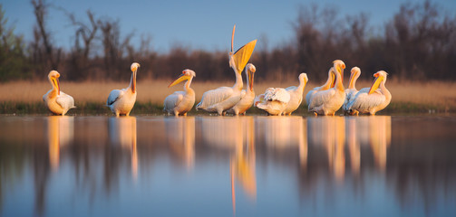 Great white pelican (Pelecanus onocrotalus). Panoramic view to group of birds