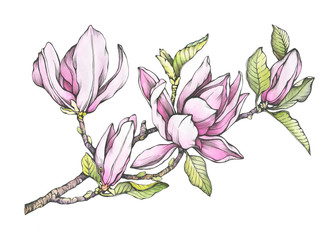 Branch of purple magnolia liliiflora with flowers and leaves. Botanical black and white outline illustration with watercolor hand drawn painting, isolated on white background.