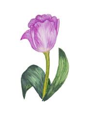 Purple, stylized, watercolor tulip. Spring flower from the Dutch fields.