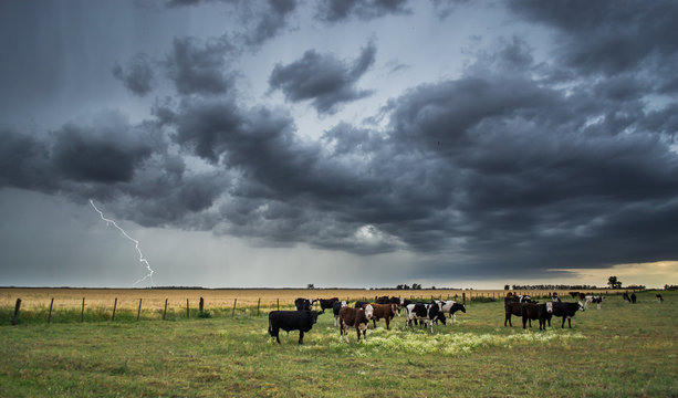 Cows, storm and lightning in the field