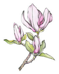 Branch of pink magnolia liliiflora (also called mulan magnolia) with flowers and leaves. Outline illustration with watercolor hand drawn painting, isolated on white background.