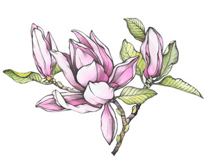 Branch of pink magnolia liliiflora (also called mulan magnolia) with flowers and leaves. Black outline illustration with watercolor hand drawn painting, isolated on white background.