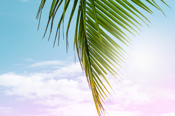 Fluffy palm leaf on blue and pink sky background. Tropical nature artistic toned photo. Vivid coco palm leaf closeup