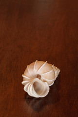 Precious wentletrap Epitonium scalare seashell