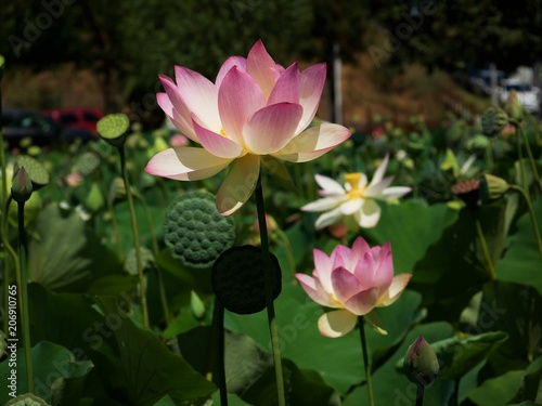 Lotus Flowers In Bloom Los Angeles Stock Photo And Royalty Free