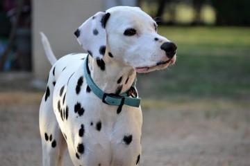 mika de la petite vallee des chiens