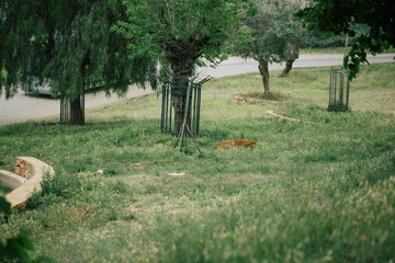 Tiger under a tree in Fasano apulia Italy