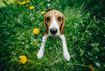 Top view shot of cute little beagle puppy lying on the green grass with yellow flowers on the meadow in the park. Dog outdoors