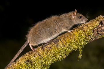 Wild Brown rat on log at night