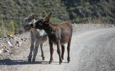 Couple of donkeys in love on the road