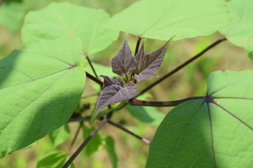 Rozwijające się liście katalpy