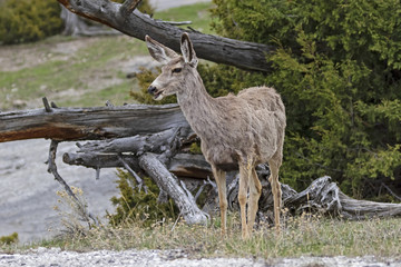 Deer at Yellowstone National Park grassland